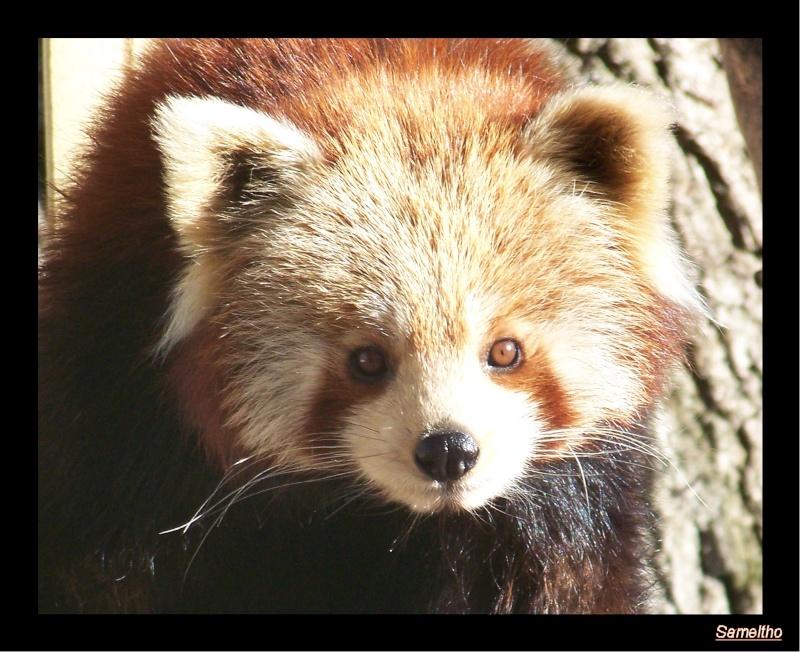 Le panda roux (Ailurus fulgens fulgens ) Zoo_le12