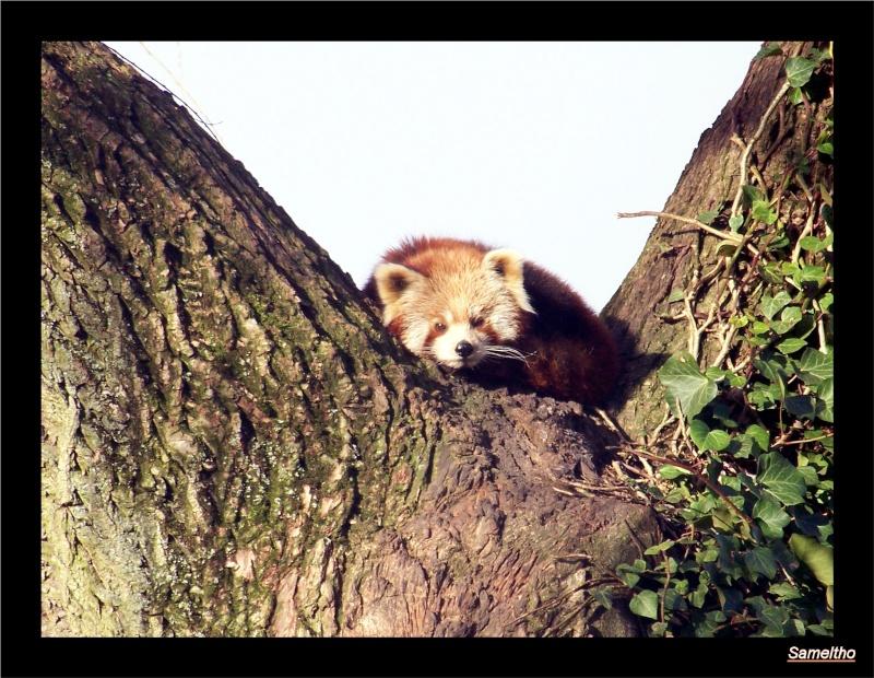 Le panda roux (Ailurus fulgens fulgens ) Zoo_le13