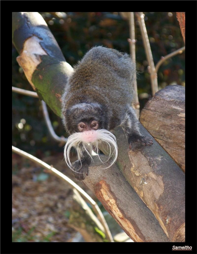 Le tamarin empereur (Saguinus imperator) Zoo_le14