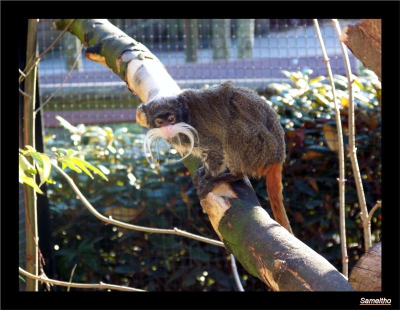 Le tamarin empereur (Saguinus imperator) Zoo_le15