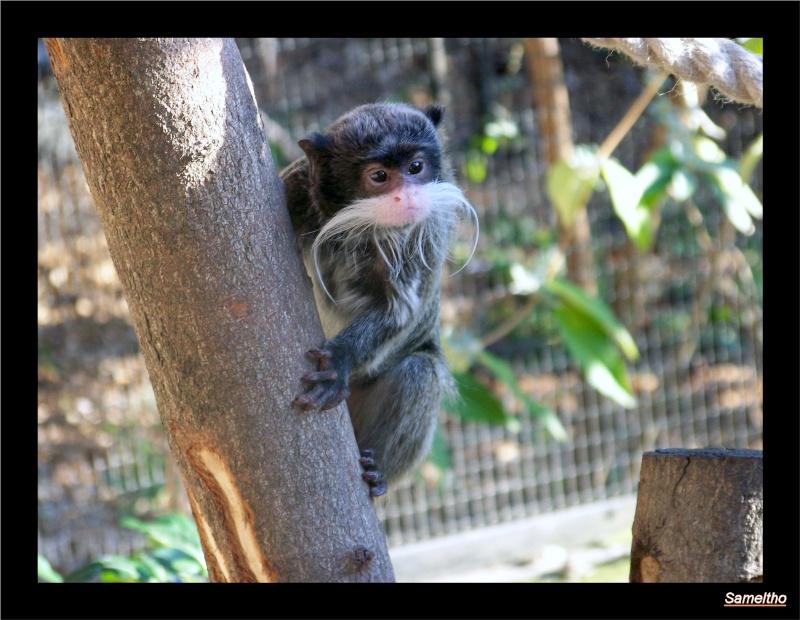 Le tamarin empereur (Saguinus imperator) Zoo_le16