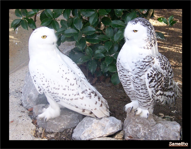 L'harfang des neiges (Bubo scandiacus ) Zoo_le20