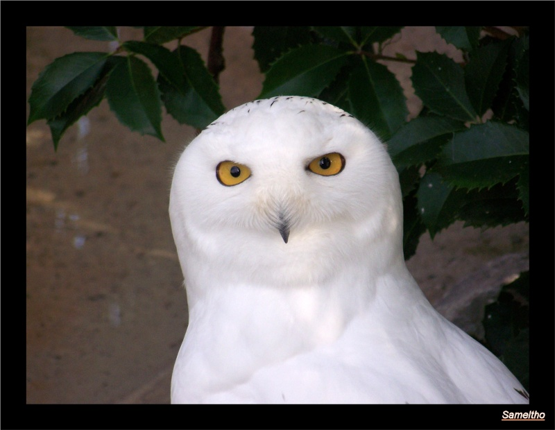 L'harfang des neiges (Bubo scandiacus ) Zoo_le21
