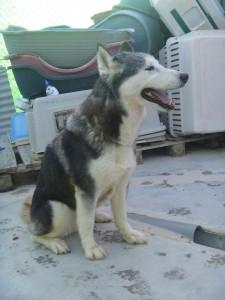 ANUSKA - Femelle husky 5 ans - CADIX (Espagne) 01_anu10