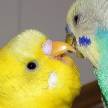 Que faire pour qu'une perruche entretienne son bec? Topaz_14