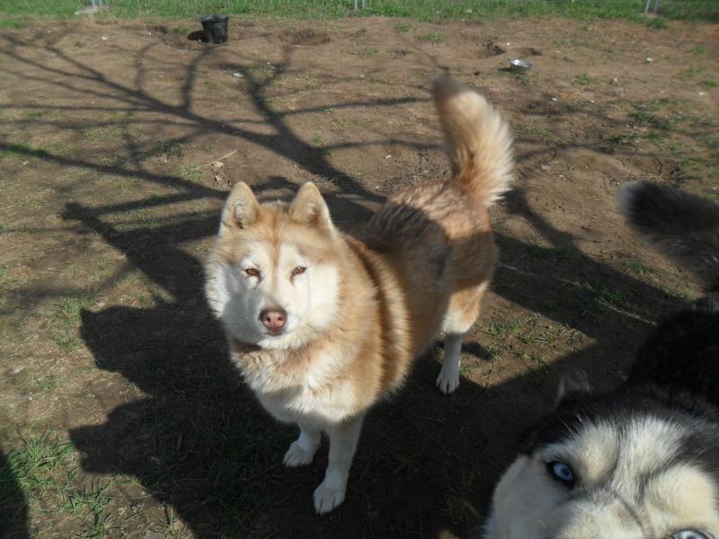 Togo, husky gris né le 25 Octobre 2002 ASSO39 Lilou114