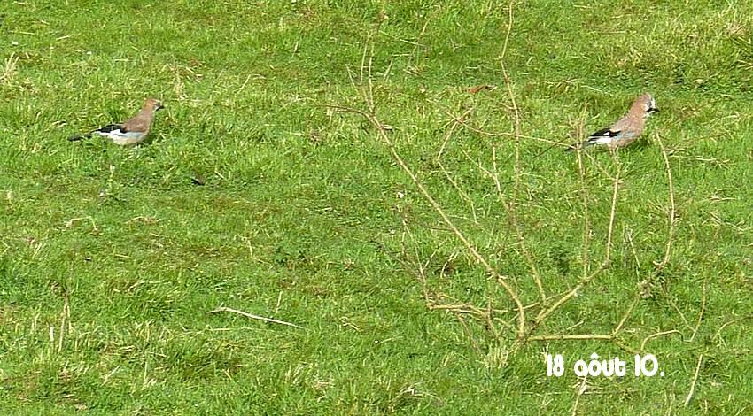 2010: dans mon jardin! oiseaux moutons poissons - Page 4 18_01310