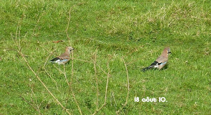 2010: dans mon jardin! oiseaux moutons poissons - Page 4 18_01410