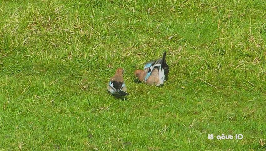 2010: dans mon jardin! oiseaux moutons poissons - Page 4 18_01512