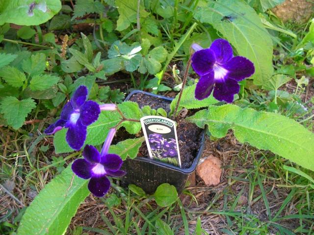 Quelques streptocarpus en fleur Dscn8013