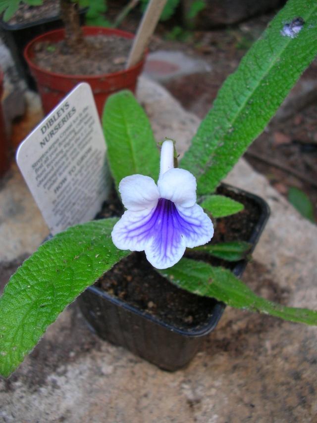 Quelques streptocarpus en fleur Dscn8110