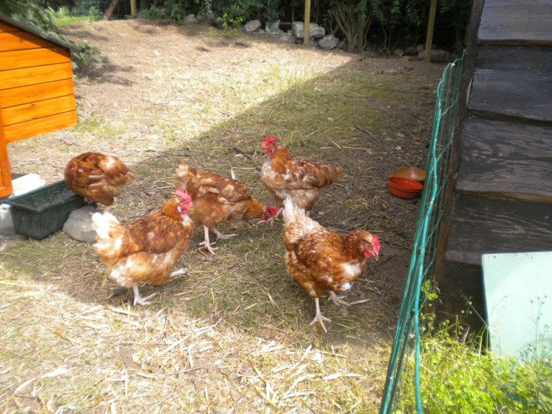 Cou des poules Dscn5512