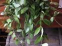 Floraison de hoya gracilis 20080917