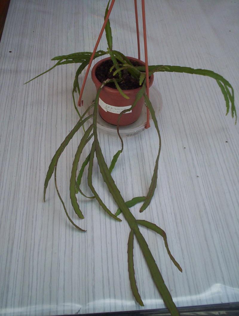 qui peu m'aider a identifier ette plante (en attente de la floraison) 00110