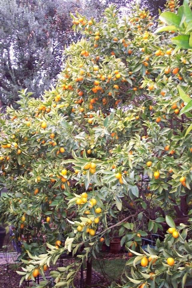 Nouveaux agrumes (Fortunella japonica et margarita) Fortun10