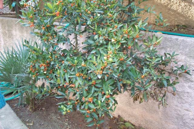Nouveaux agrumes (Fortunella japonica et margarita) L_esqu10