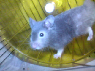 Muffin hamster syrien 5 mois Sp_a0312