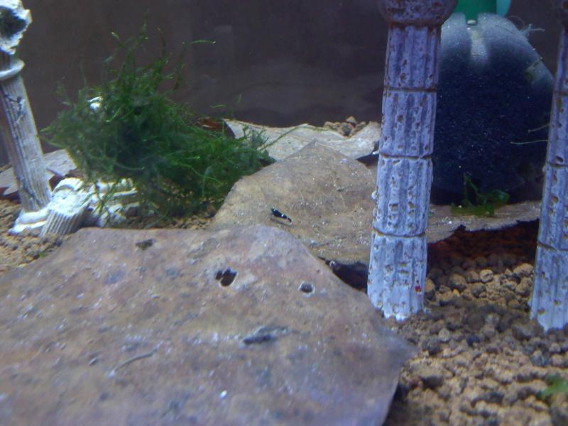 Quelques photos de mes crevettes Img09010