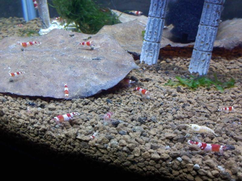 Quelques photos de mes crevettes Img09610