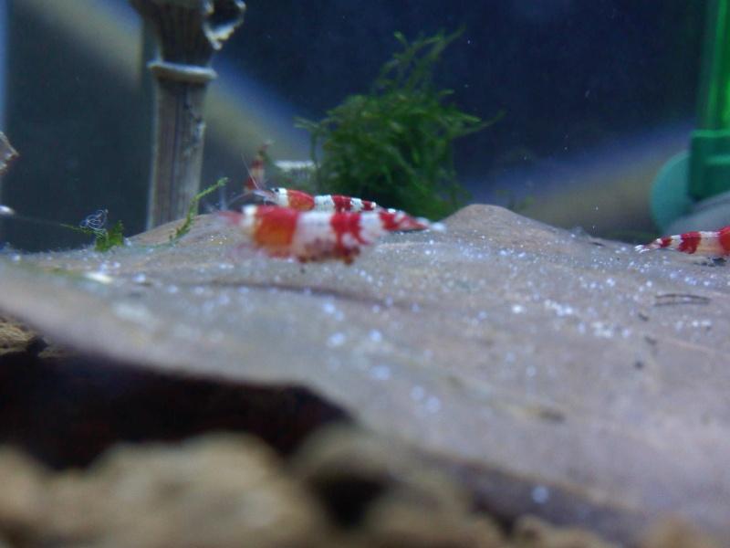 Quelques photos de mes crevettes Img10510