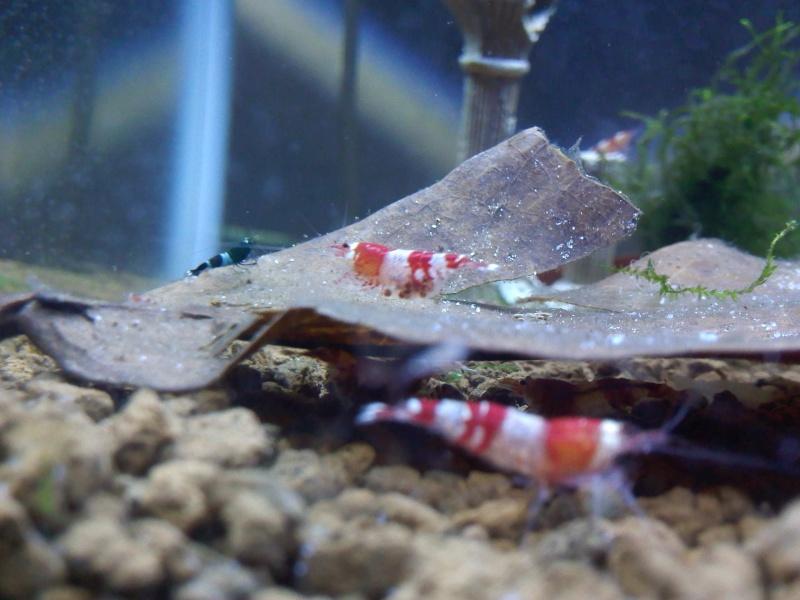 Quelques photos de mes crevettes Img10610