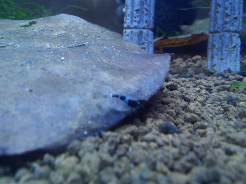 Quelques photos de mes crevettes Img11311