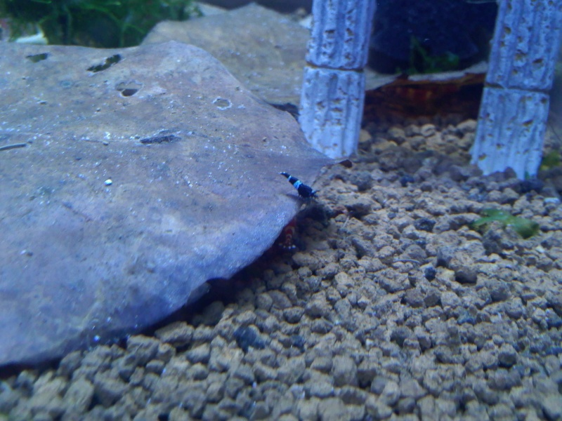 Quelques photos de mes crevettes Img11413
