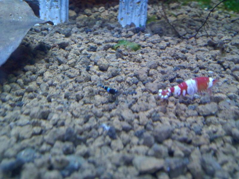 Quelques photos de mes crevettes Img11610