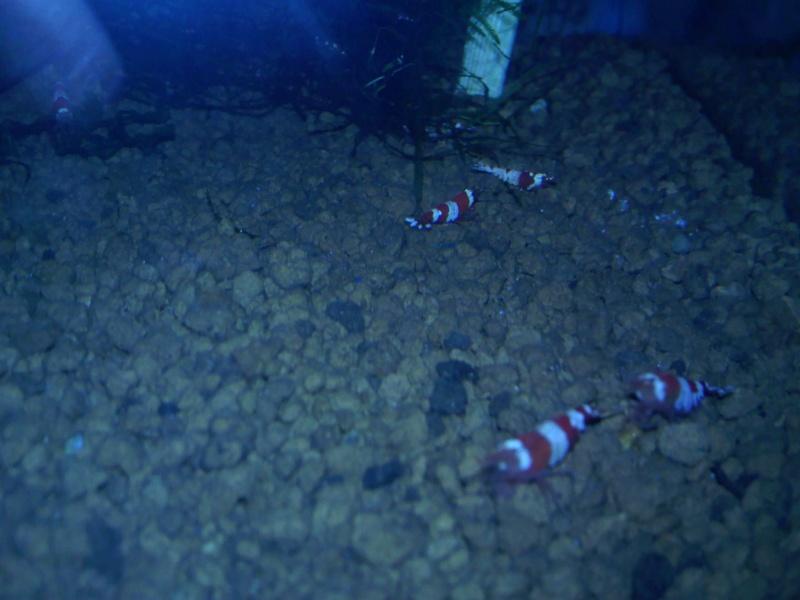 Quelques photos de mes crevettes Img12210