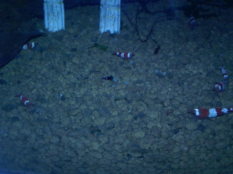 Quelques photos de mes crevettes Img12311