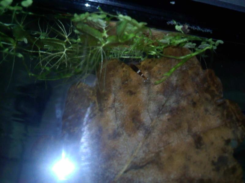 Quelques photos de mes crevettes Img16810