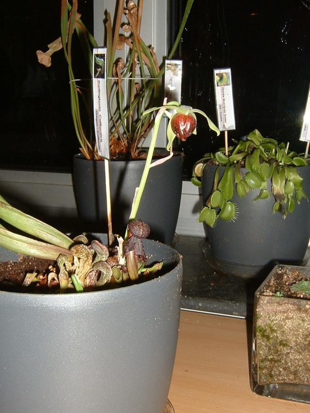 Darlingtonia en fleur! Dscf0010