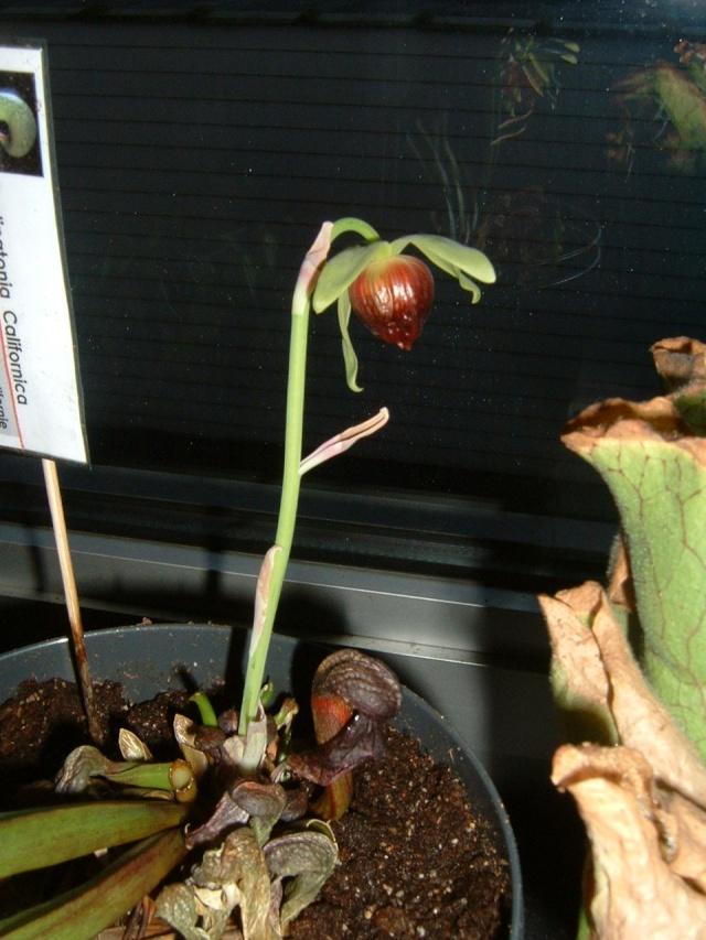 Darlingtonia en fleur! Dscf0011