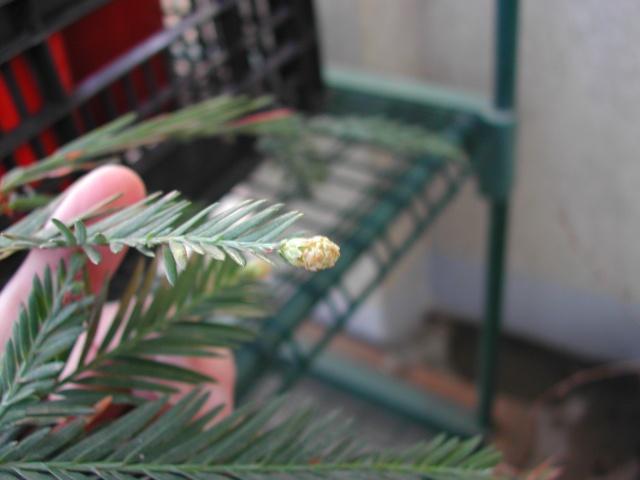 Sequoïa en fleurs Dscn9210