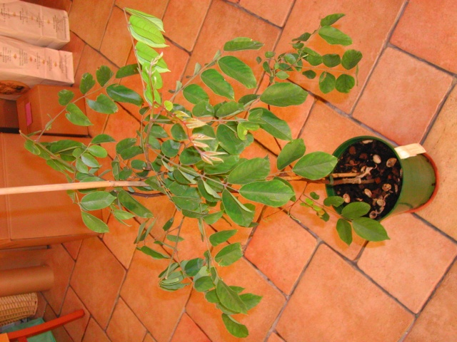 [Oxalidaceae] Averrhoa carambola Dscn9212
