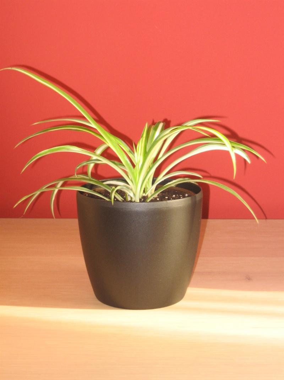 Une petite plante à identifier SVP - Merci [Chlorophytum] Img_0510