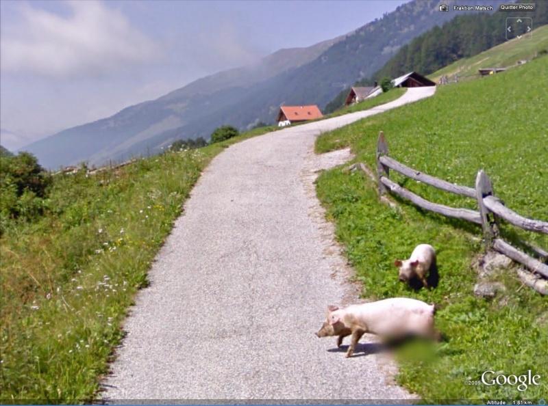STREET VIEW : Les animaux - Page 2 Porcs10