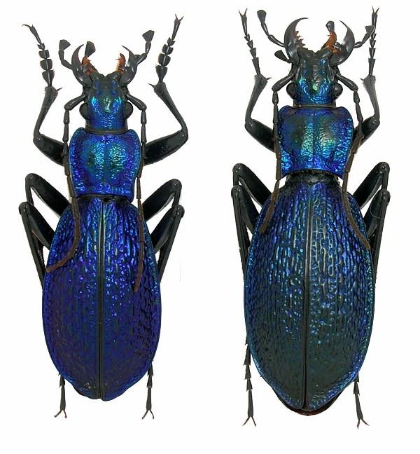 Chaetocarabus intricatus de la Rep. Tcheque Intric11