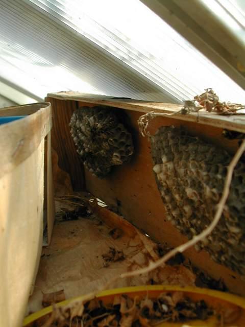 les nids de polistes Dscn8711