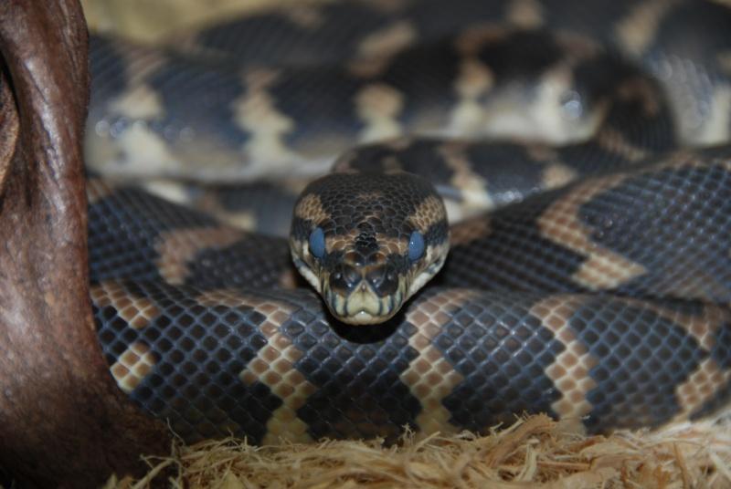 Mon petit male héhé [morelia sp. var. Irian Jaya] Dsc_0012