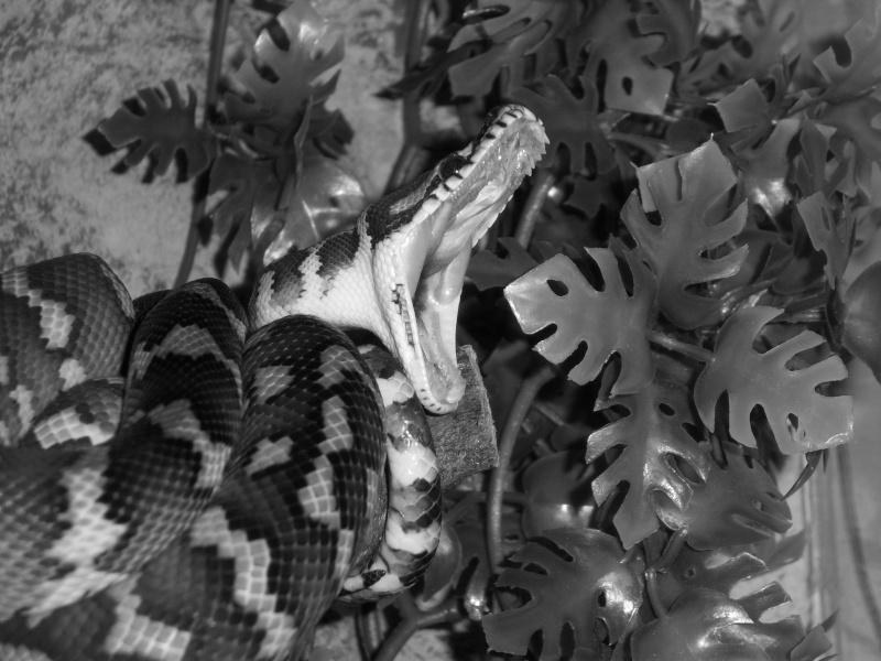 Mon petit male héhé [morelia sp. var. Irian Jaya] Serpen10