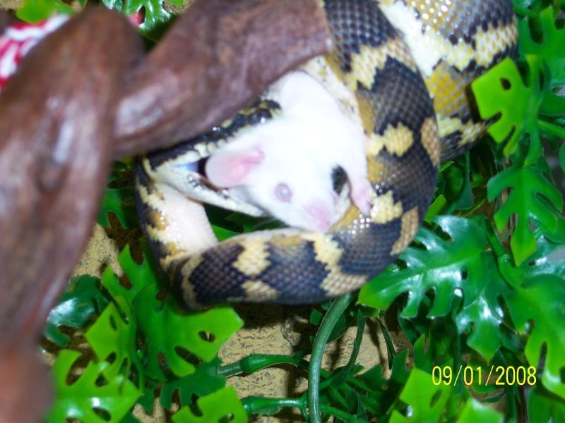 Mon petit male héhé [morelia sp. var. Irian Jaya] Serpen11