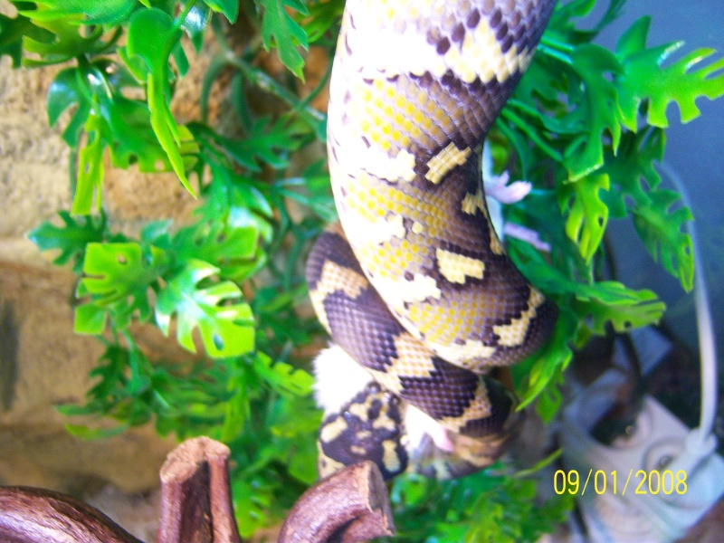 Mon petit male héhé [morelia sp. var. Irian Jaya] Serpen12