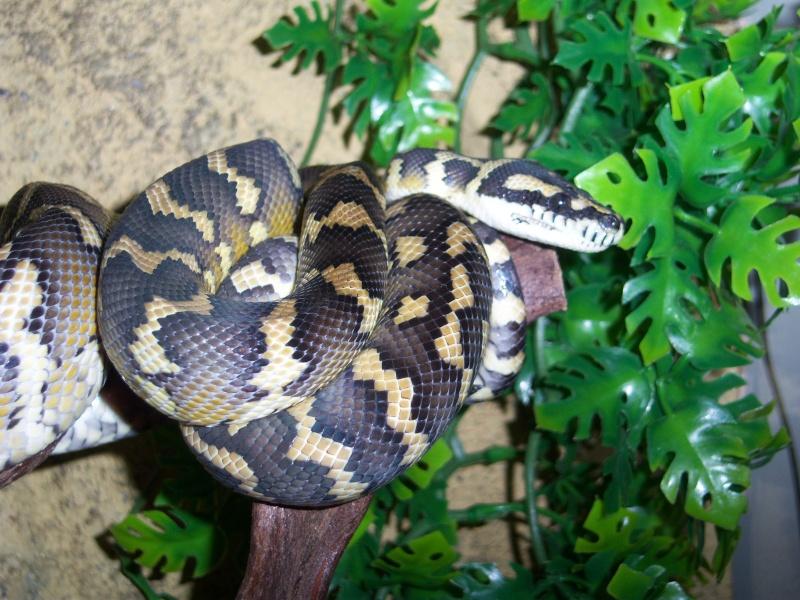 Mon petit male héhé [morelia sp. var. Irian Jaya] Serpen13