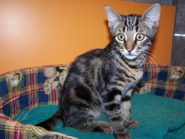 Trouvé à Colomiers chaton tigré foncé 100_3711