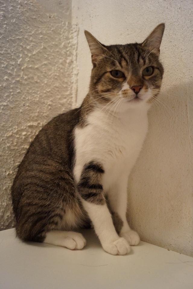 Perdu à Colomiers chat tigré et blanc Dsc00319