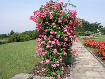 Posavsko cvijeće Americ10