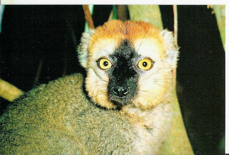 Repas des Maki vari noir et blanc Lemuri14