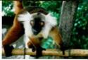 Repas des Maki vari noir et blanc Lemuri10