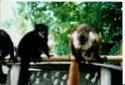 Repas des Maki vari noir et blanc Lemuri11